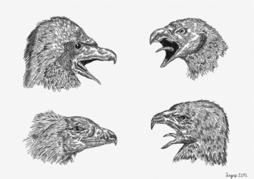Duan-Krtolica-Oiseaux.jpg